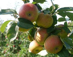apfelsorte-coulons-renette-pic4-frucht-am-baum.jpg
